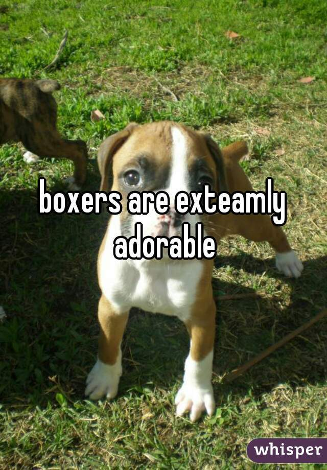 boxers are exteamly adorable
