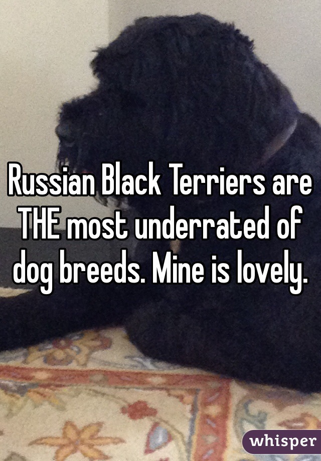 Russian Black Terriers are THE most underrated of dog breeds. Mine is lovely.