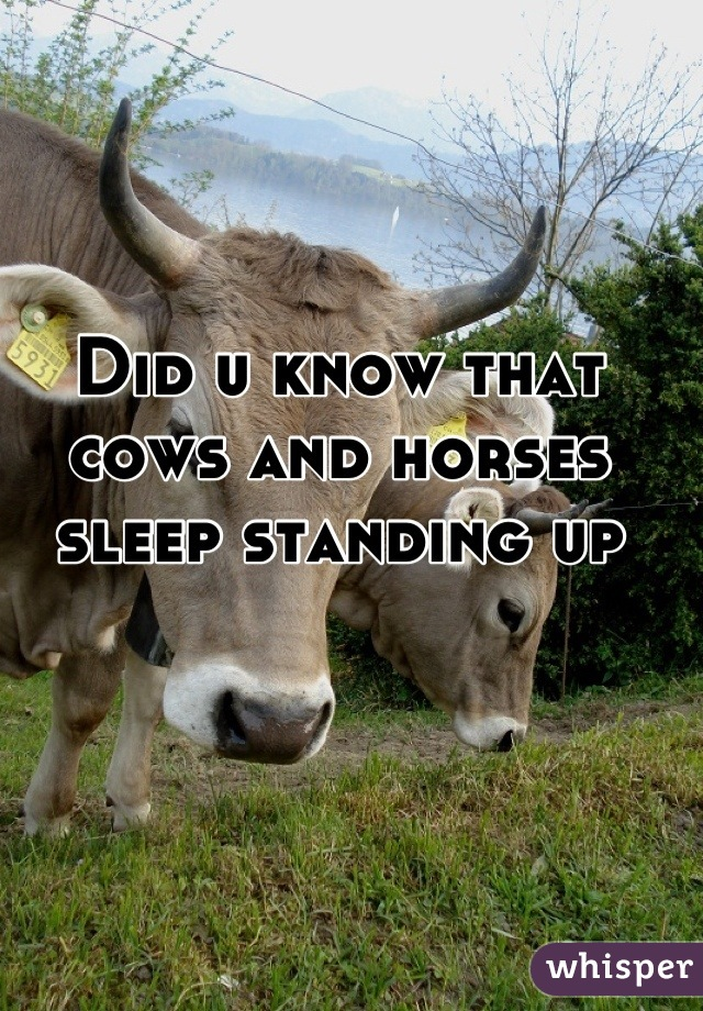 Did u know that cows and horses sleep standing up