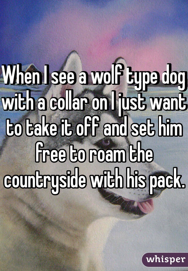 When I see a wolf type dog with a collar on I just want to take it off and set him free to roam the countryside with his pack.