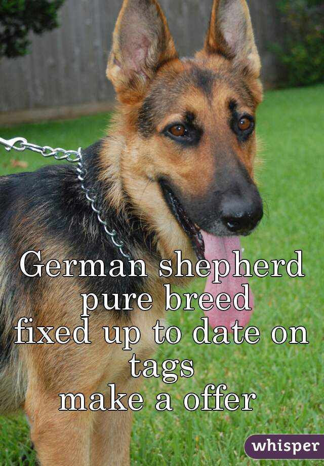 German shepherd pure breed fixed up to date on tags  make a offer