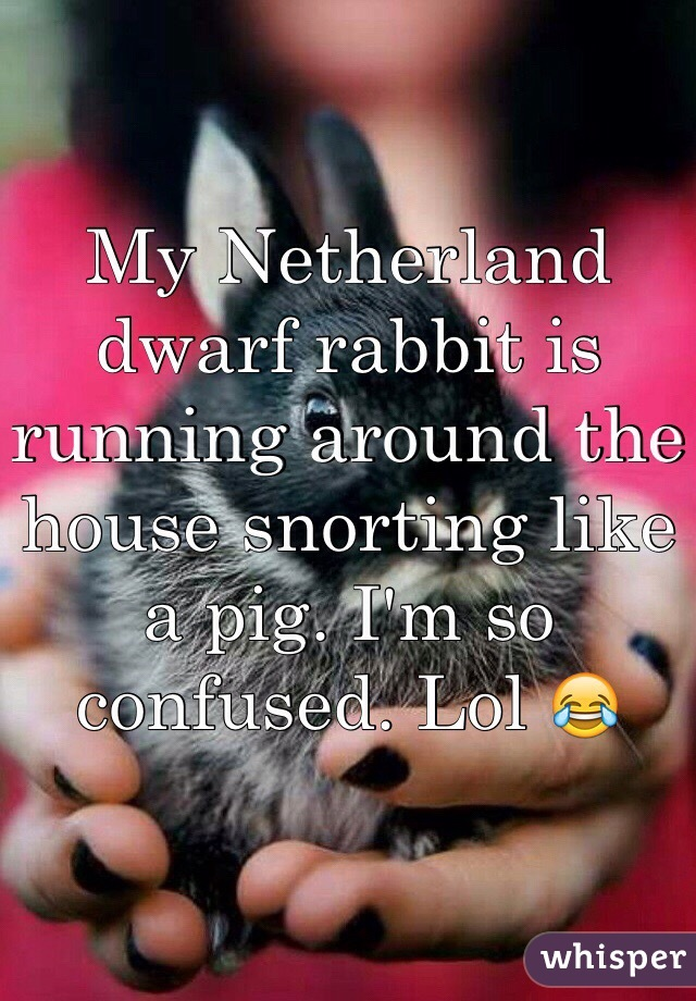 My Netherland dwarf rabbit is running around the house snorting like a pig. I'm so confused. Lol 😂