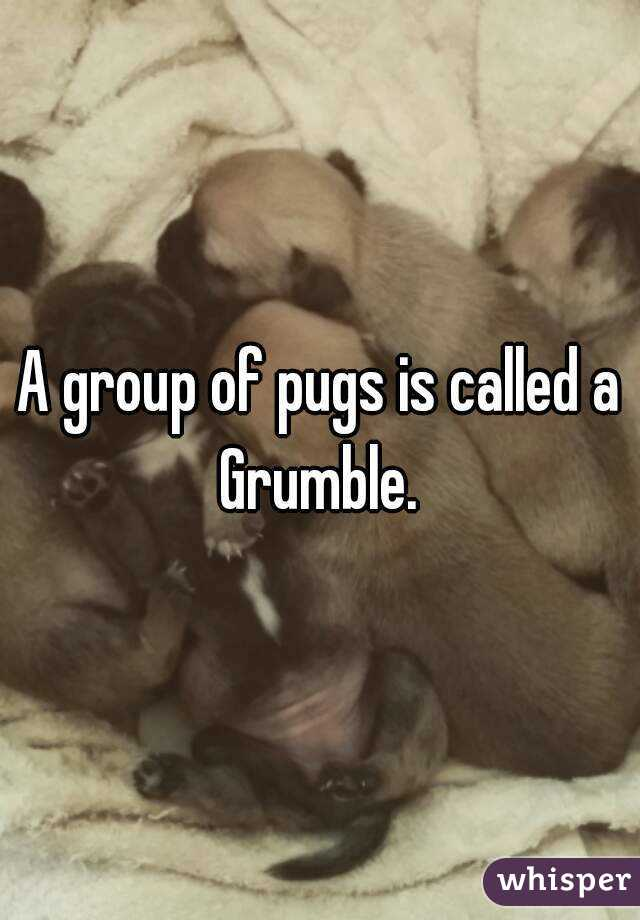 A group of pugs is called a Grumble.