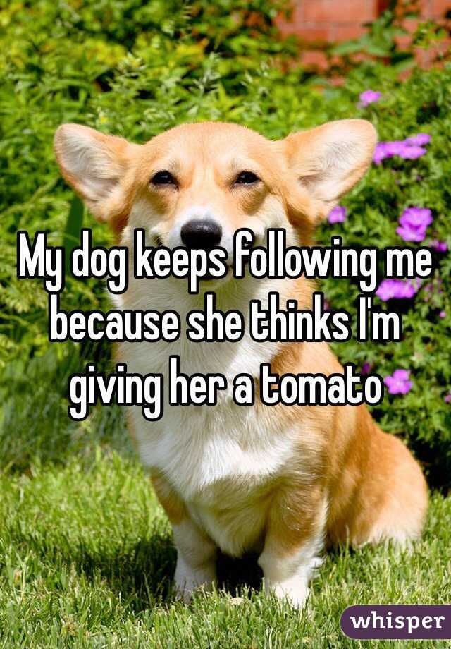 My dog keeps following me because she thinks I'm giving her a tomato