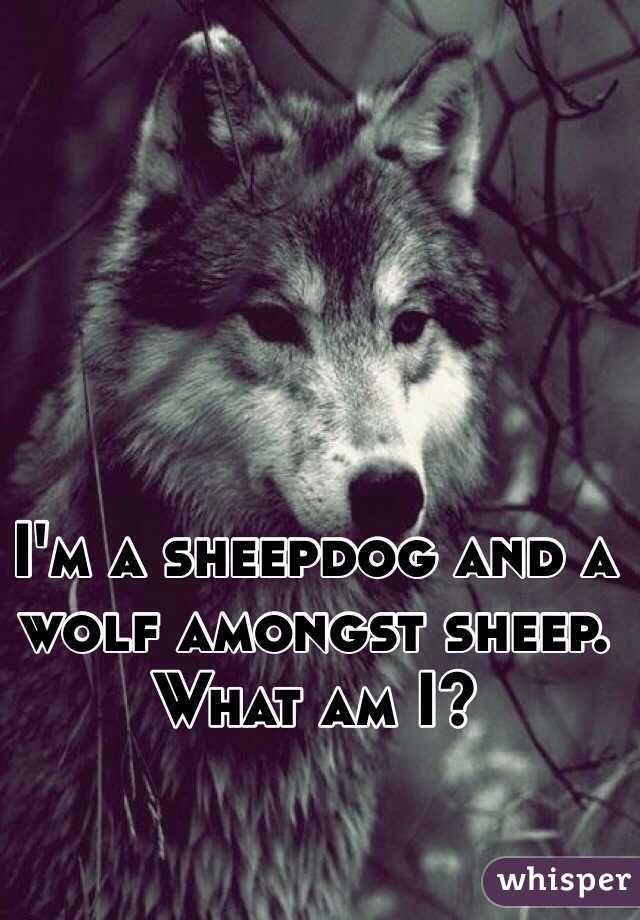 I'm a sheepdog and a wolf amongst sheep. What am I?