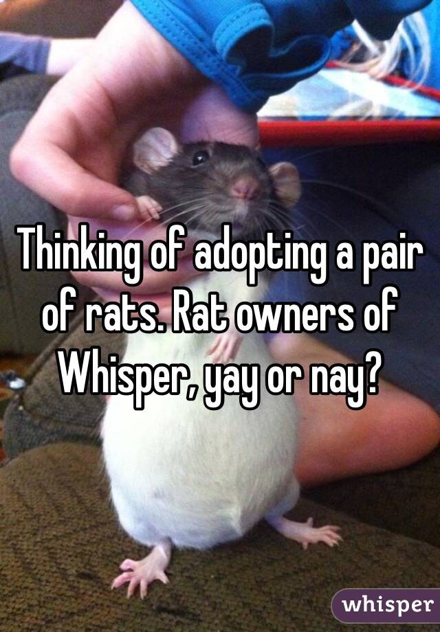 Thinking of adopting a pair of rats. Rat owners of Whisper, yay or nay?