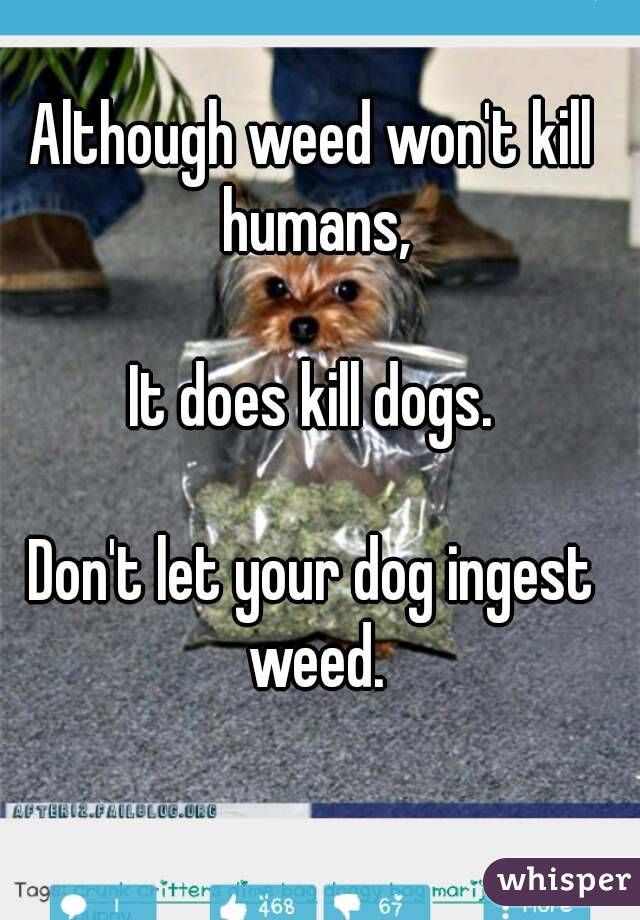 Although weed won't kill humans,  It does kill dogs.  Don't let your dog ingest weed.