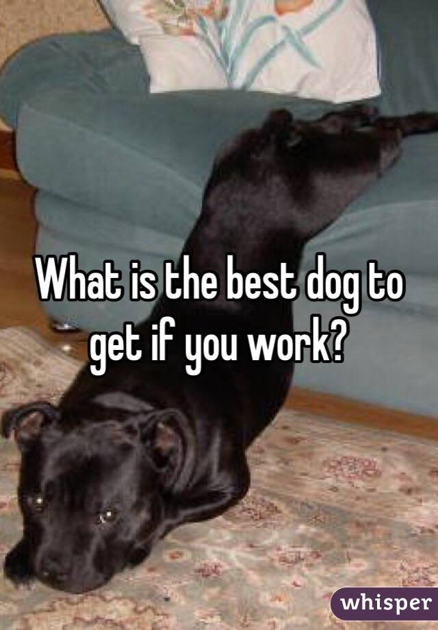 What is the best dog to get if you work?