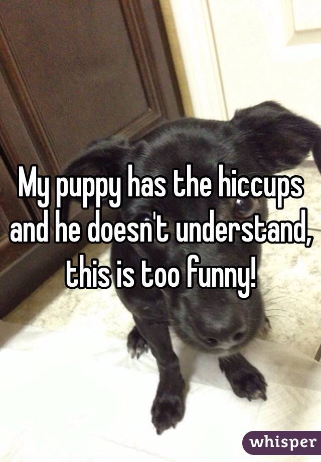 My puppy has the hiccups and he doesn't understand, this is too funny!