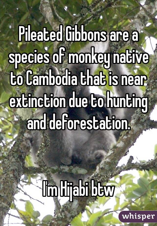 Pileated Gibbons are a species of monkey native to Cambodia that is near extinction due to hunting and deforestation.   I'm Hijabi btw