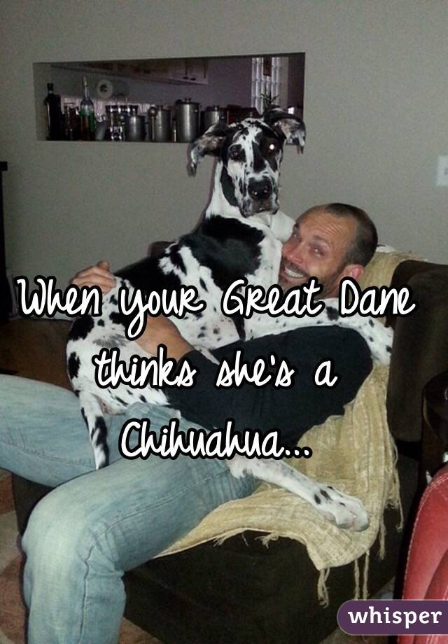 When your Great Dane thinks she's a Chihuahua...