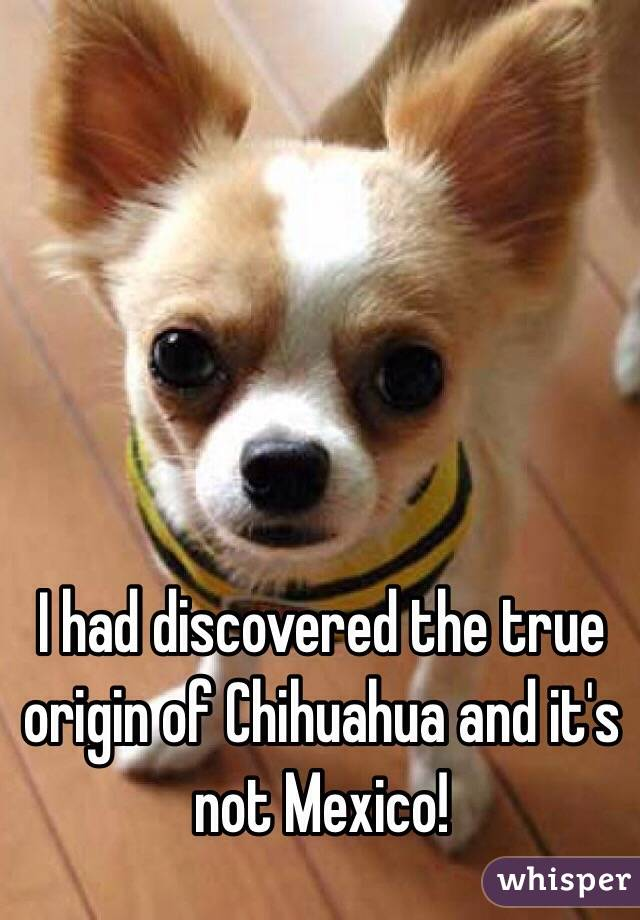 I had discovered the true origin of Chihuahua and it's not Mexico!