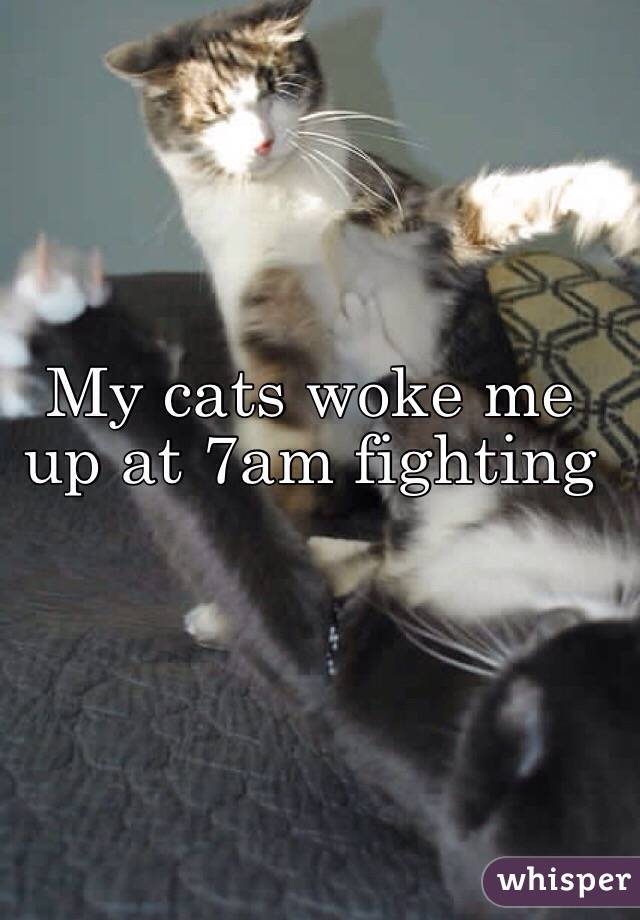 My cats woke me up at 7am fighting