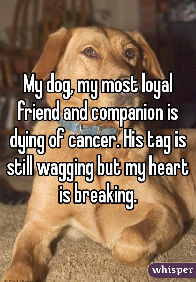 My dog, my most loyal friend and companion is dying of cancer. His tag is still wagging but my heart is breaking.