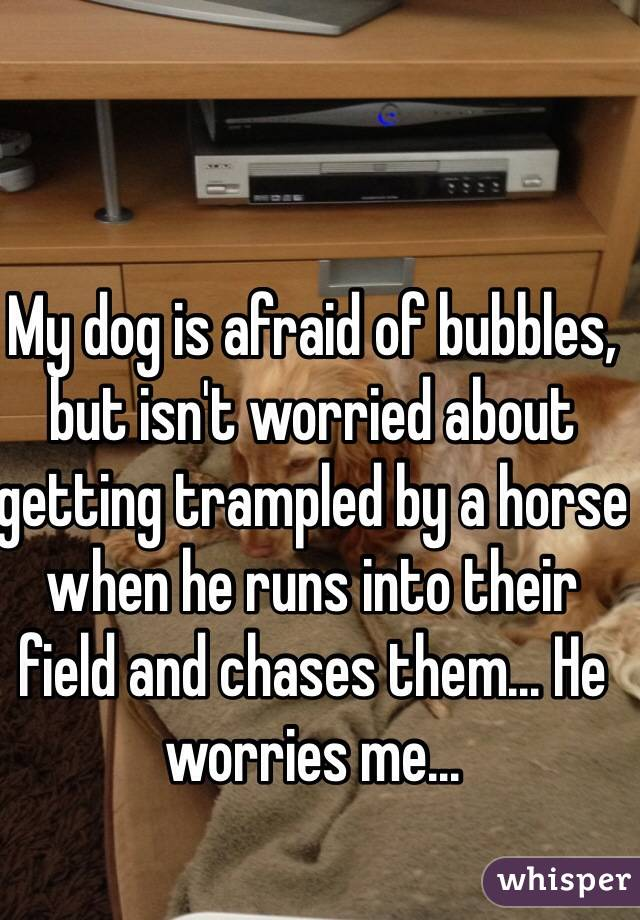My dog is afraid of bubbles, but isn't worried about getting trampled by a horse when he runs into their field and chases them... He worries me...