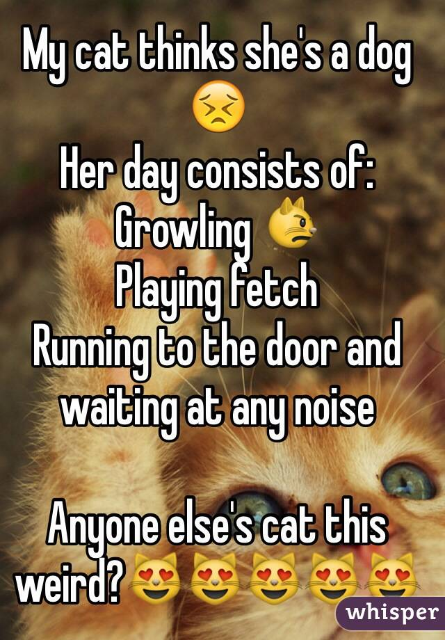My cat thinks she's a dog 😣 Her day consists of: Growling 😾 Playing fetch Running to the door and waiting at any noise  Anyone else's cat this weird?😻😻😻😻😻