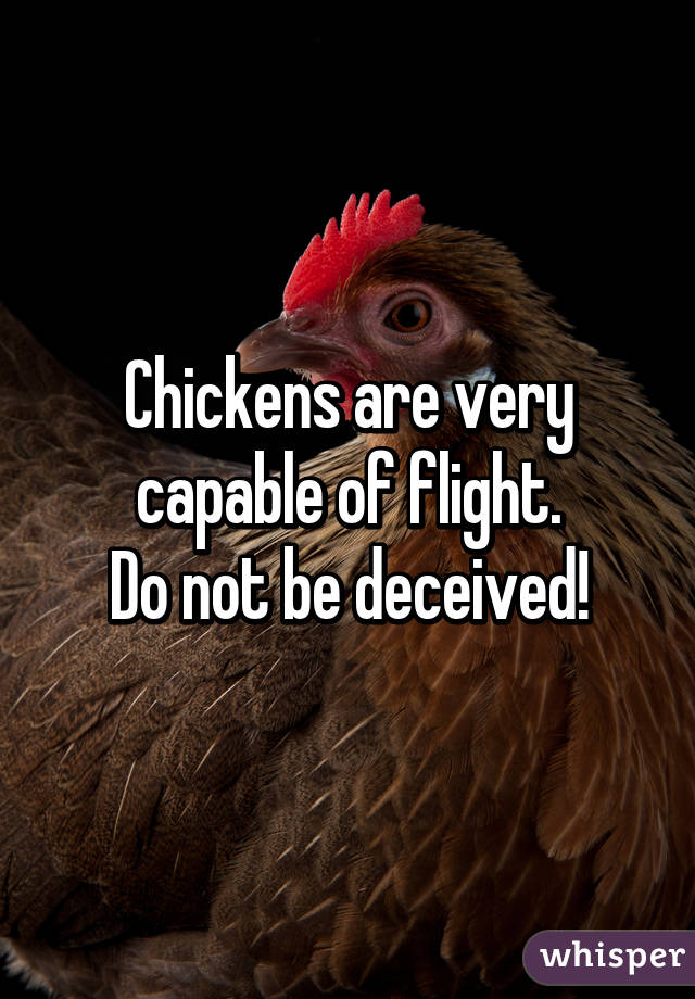 Chickens are very capable of flight. Do not be deceived!