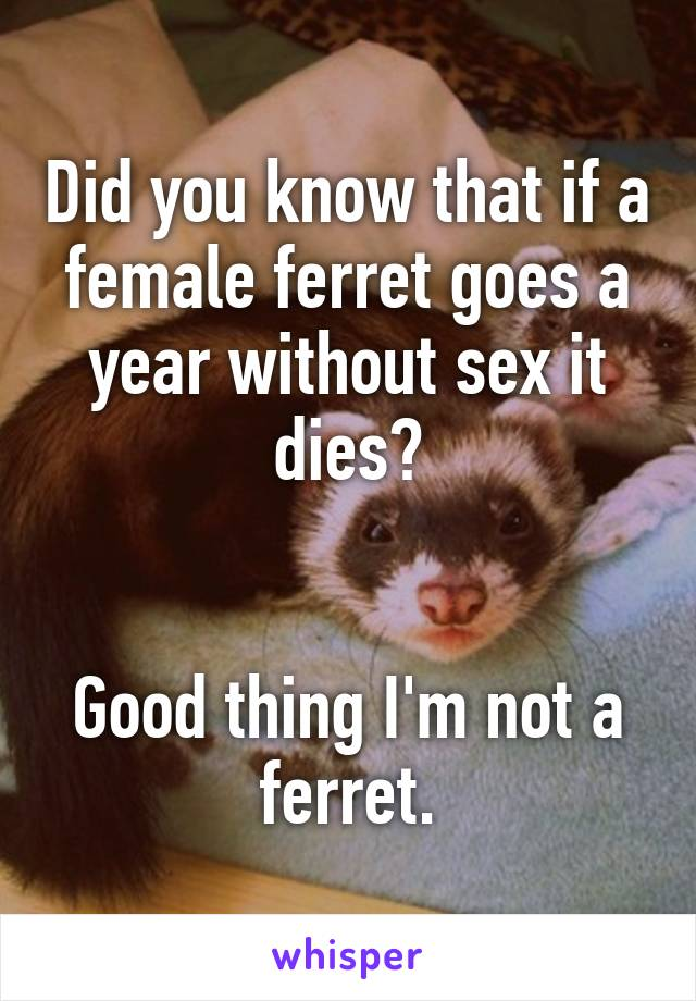 Did you know that if a female ferret goes a year without sex it dies?   Good thing I'm not a ferret.