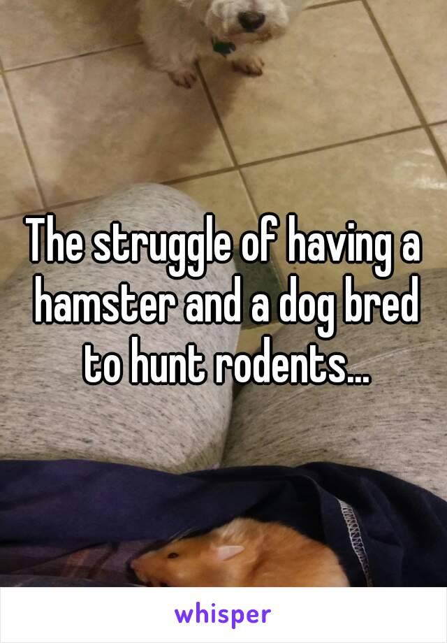 The struggle of having a hamster and a dog bred to hunt rodents...