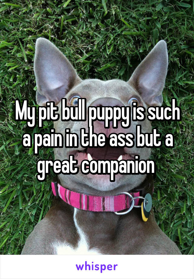 My pit bull puppy is such a pain in the ass but a great companion