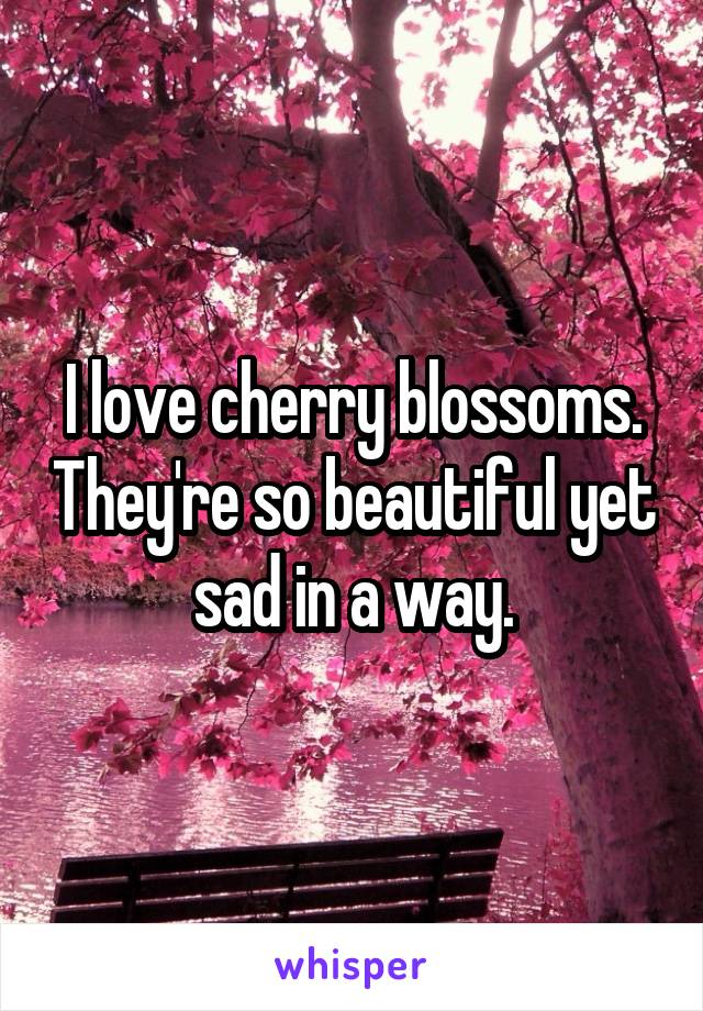 I love cherry blossoms. They're so beautiful yet sad in a way.