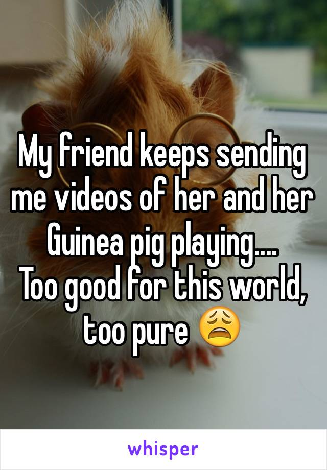 My friend keeps sending me videos of her and her Guinea pig playing.... Too good for this world, too pure 😩
