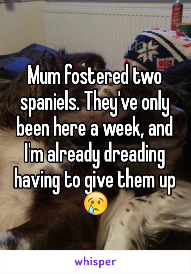 Mum fostered two spaniels. They've only been here a week, and I'm already dreading having to give them up 😢