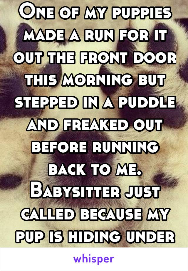 One of my puppies made a run for it out the front door this morning but stepped in a puddle and freaked out before running back to me. Babysitter just called because my pup is hiding under my pillow.