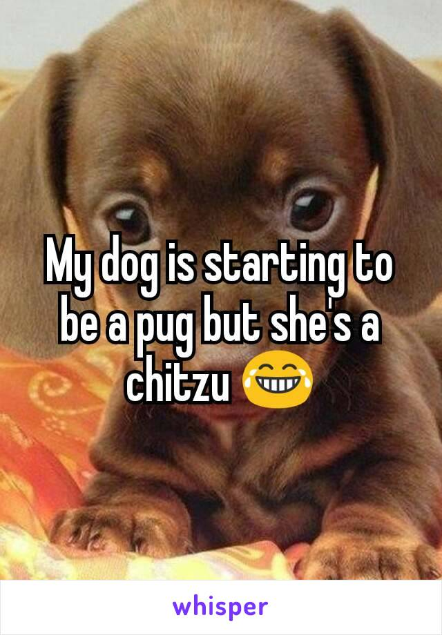 My dog is starting to be a pug but she's a chitzu 😂