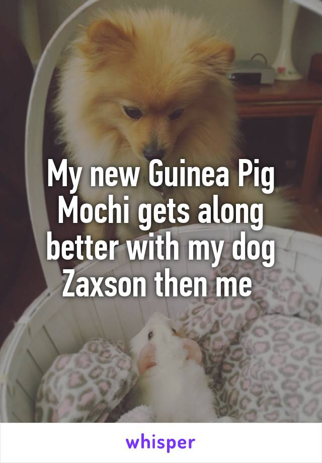 My new Guinea Pig Mochi gets along better with my dog Zaxson then me