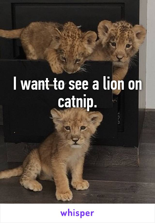 I want to see a lion on catnip.