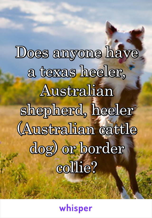 Does anyone have a texas heeler, Australian shepherd, heeler (Australian cattle dog) or border collie?
