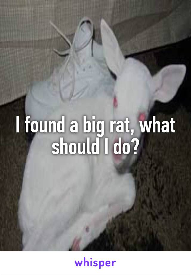 I found a big rat, what should I do?