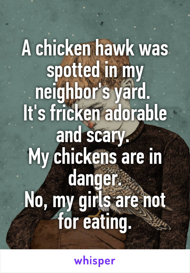 A chicken hawk was spotted in my neighbor's yard.  It's fricken adorable and scary.  My chickens are in danger. No, my girls are not for eating.