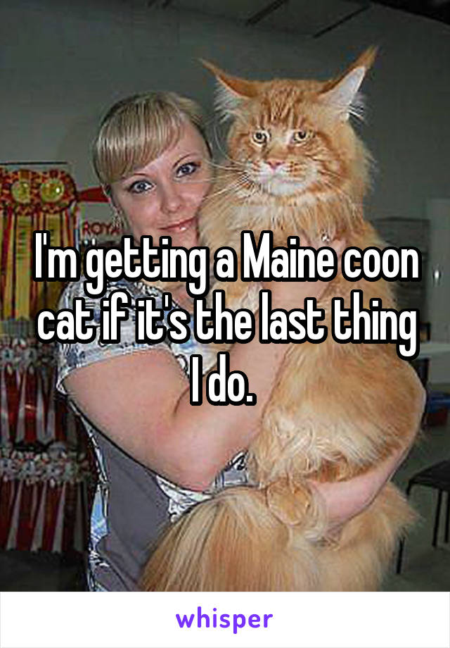 I'm getting a Maine coon cat if it's the last thing I do.