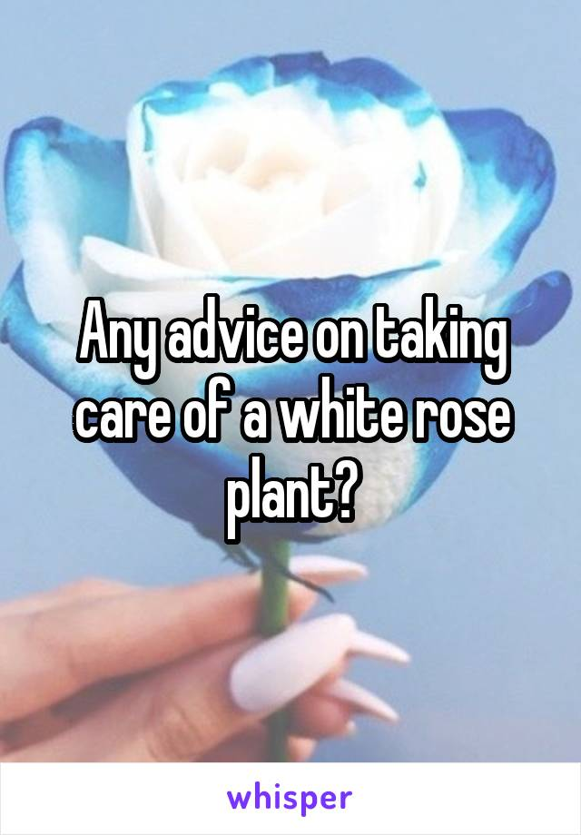 Any advice on taking care of a white rose plant?