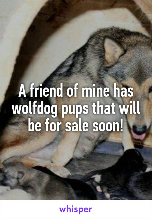 A friend of mine has wolfdog pups that will be for sale soon!