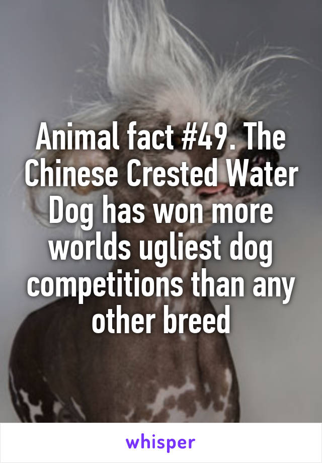 Animal fact #49. The Chinese Crested Water Dog has won more worlds ugliest dog competitions than any other breed