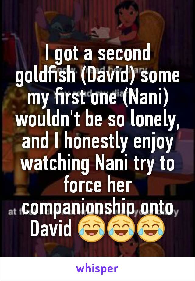 I got a second goldfish (David) some my first one (Nani) wouldn't be so lonely, and I honestly enjoy watching Nani try to force her companionship onto David 😂😂😂