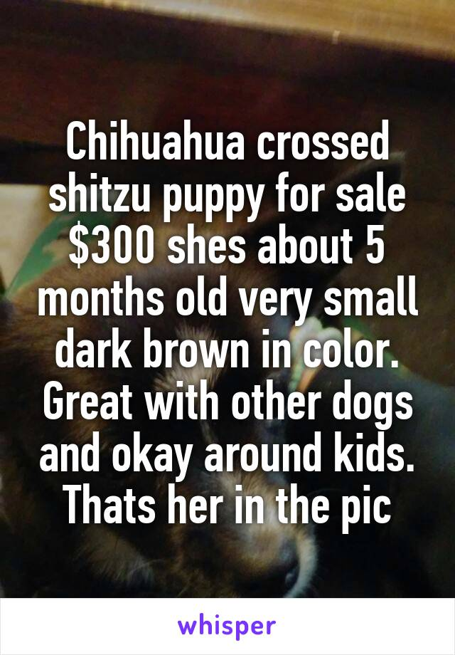 Chihuahua crossed shitzu puppy for sale $300 shes about 5 months old very small dark brown in color. Great with other dogs and okay around kids. Thats her in the pic