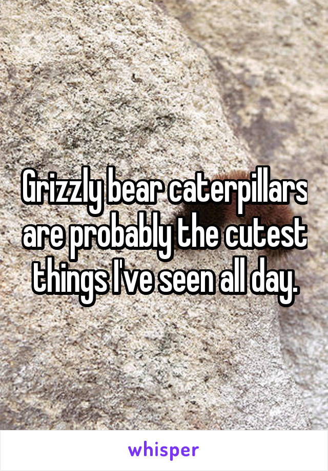 Grizzly bear caterpillars are probably the cutest things I've seen all day.