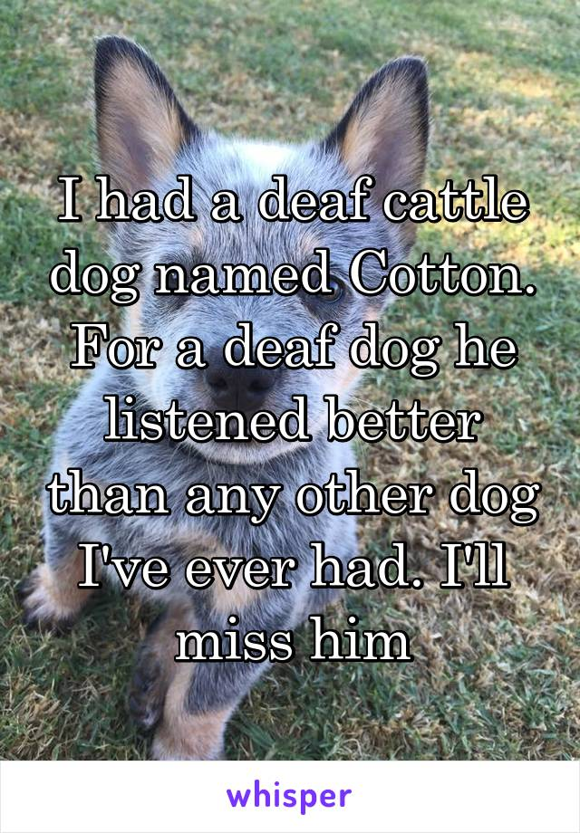 I had a deaf cattle dog named Cotton. For a deaf dog he listened better than any other dog I've ever had. I'll miss him