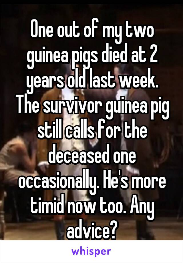 One out of my two guinea pigs died at 2 years old last week. The survivor guinea pig still calls for the deceased one occasionally. He's more timid now too. Any advice?