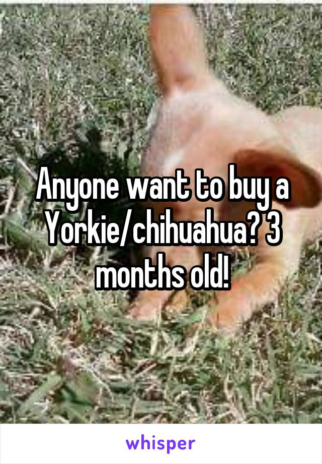 Anyone want to buy a Yorkie/chihuahua? 3 months old!