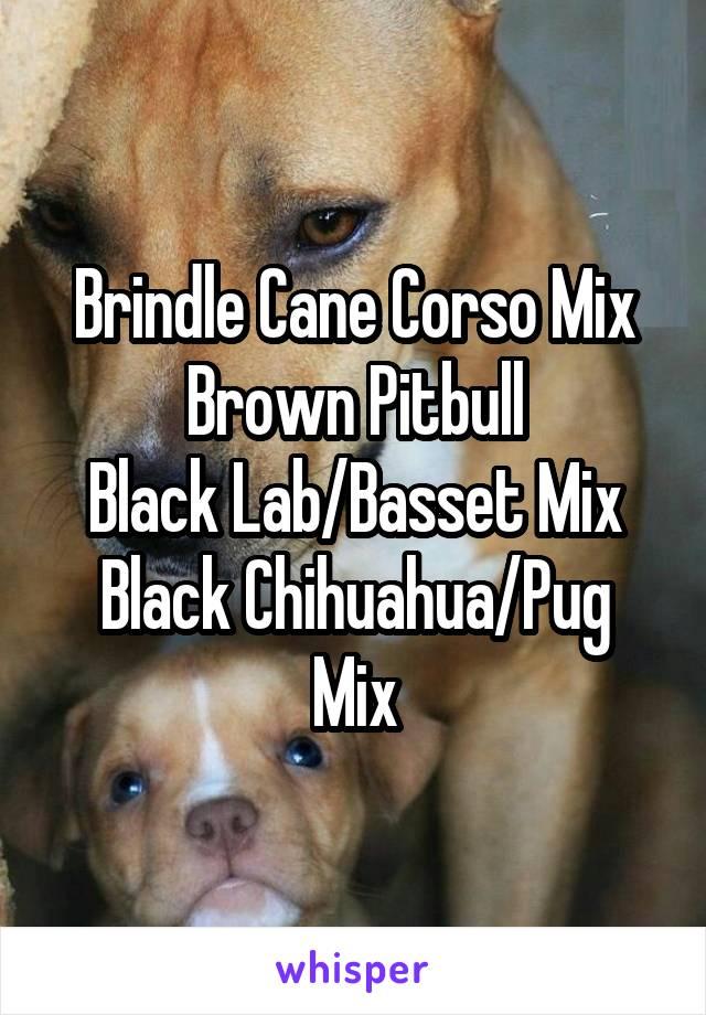 Brindle Cane Corso Mix Brown Pitbull Black Labbasset Mix Black