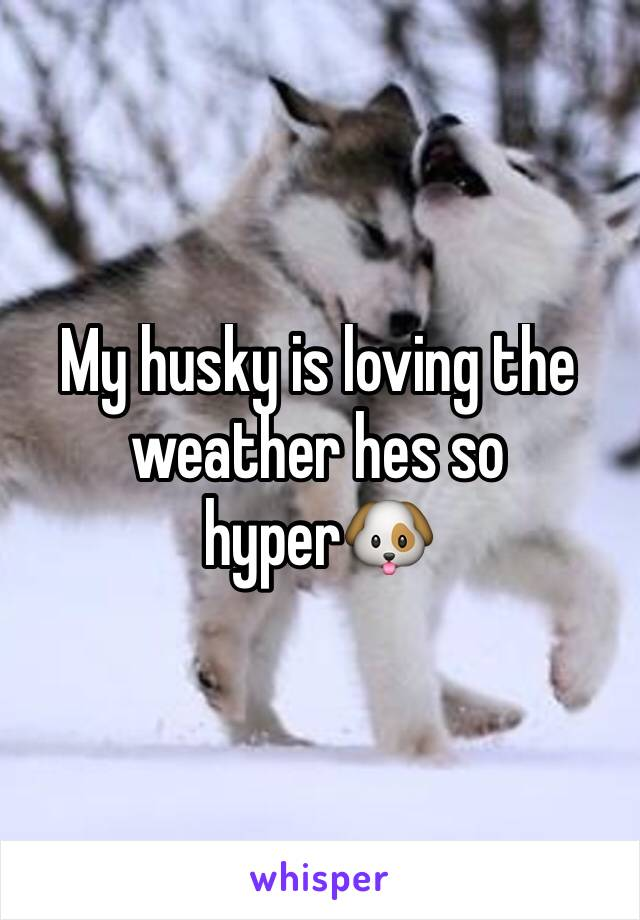 My husky is loving the weather hes so hyper🐶