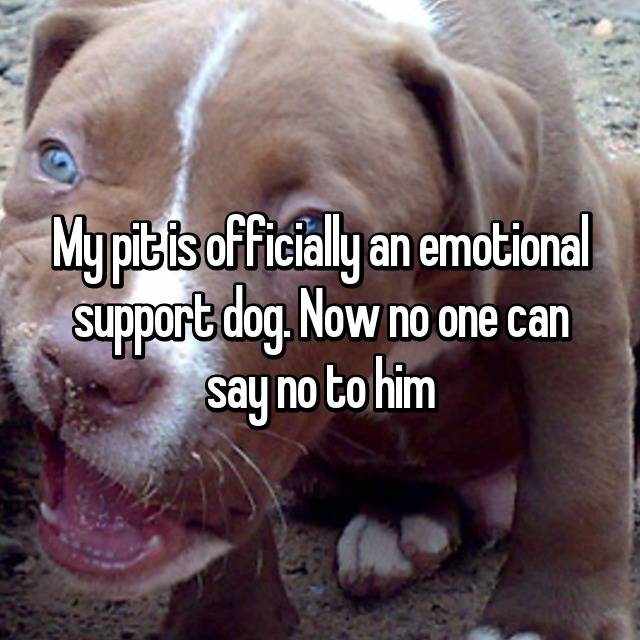 My pit is officially an emotional support dog. Now no one can say no to him 💕