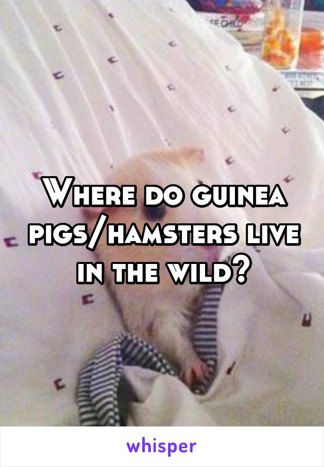 Where do guinea pigs/hamsters live in the wild?