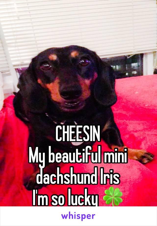 CHEESIN  My beautiful mini dachshund Iris I'm so lucky 🍀