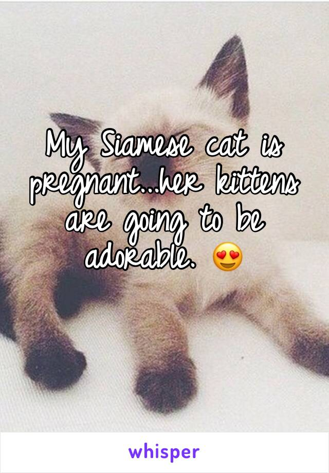 My Siamese cat is pregnant...her kittens are going to be adorable. 😍